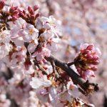 桜を見てふと思うこと。